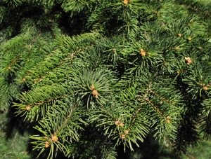 Closeup of spruce branches
