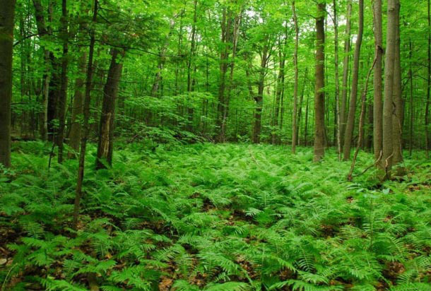 Backyard Forest goals: grow an old growth forest in your backyard | ecology ottawa
