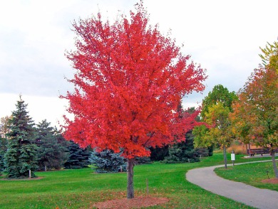 red maple.jpg