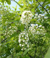 440px-Prunus_virginiana_flowers